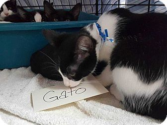 Domestic Shorthair Cat for adoption in Acworth, Georgia - Gato (Mower Litter)