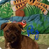 Adopt A Pet :: Peg - Burlington, VT