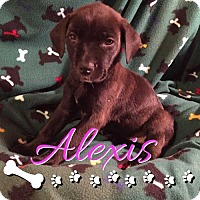 Adopt A Pet :: Alexis - Foristell, MO