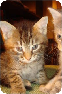Domestic Mediumhair Kitten for adoption in Orlando, Florida - Gaston