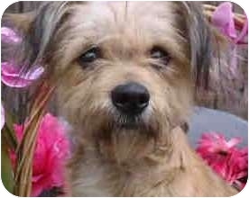 Macys | Adopted Dog | north hollywood, CA | Border Terrier ...