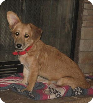 Corgi Mix Puppy for adoption in Golden Valley, Arizona - Kimmie