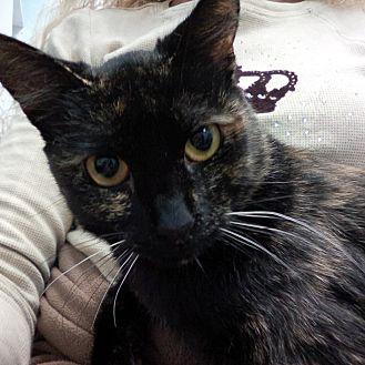 Domestic Shorthair Cat for adoption in Santa Monica, California - Kasan