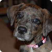 Adopt A Pet :: CAROLINA - CHICAGO, IL