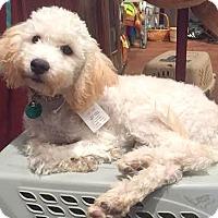 Adopt A Pet :: Lainie-ADOPTION PENDING - Boulder, CO