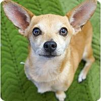 Chihuahua Mix Dog for adoption in Buckeye, Arizona - Rhett