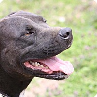 Labrador Retriever/Retriever (Unknown Type) Mix Dog for adoption in Joplin, Missouri - Casey