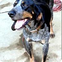 Adopt A Pet :: Kissin Blue Rose - Sacramento area, CA