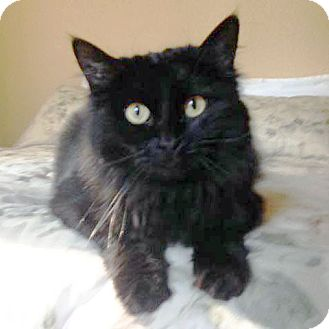 Domestic Longhair Cat for adoption in Arlington/Ft Worth, Texas - Delilah