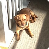 Beagle/Pug Mix Dog for adoption in Lomita, California - Zira