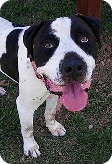 American Bulldog Mix Dog for adoption in Austin, Texas - Oreon