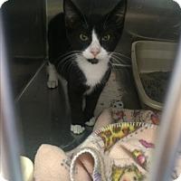 Domestic Shorthair Kitten for adoption in Richboro, Pennsylvania - Ariel