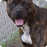 American Pit Bull Terrier Mix Dog for adoption in Saginaw, Michigan - Fritz