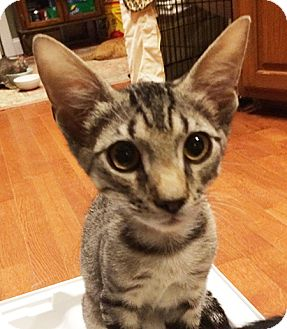 American Shorthair Kitten for adoption in Metairie, Louisiana - Spock