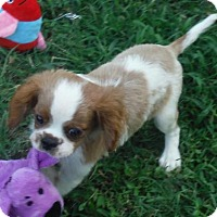 Cocker Spaniel/Cavalier King Charles Spaniel Mix Puppy for adoption in Venice, Florida - PENDING BRODY