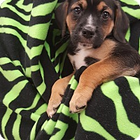 Spaniel (Unknown Type) Mix Puppy for adoption in Orland Park, Illinois - AM3 (Male)