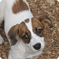 Beagle/Jack Russell Terrier Mix Puppy for adoption in Hagerstown, Maryland - Eclair