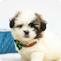 Adopt A Pet :: Mr. Wiggles - Auburn, CA