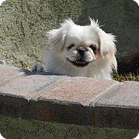 Pekingese Dog for adoption in SO CALIF, California - PEARL