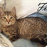 Domestic Shorthair Kitten for adoption in Brandon, Florida - Fiona
