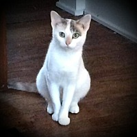 Domestic Shorthair Cat for adoption in Fairborn, Ohio - Kora