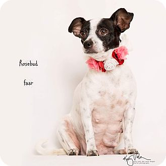 Rat Terrier Mix Dog for adoption in Riverside, California - Rosebud