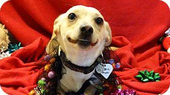 Corgi/Terrier (Unknown Type, Medium) Mix Dog for adoption in Vacaville, California - Tuttie Fruitie