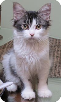 Domestic Longhair Kitten for adoption in Oakland Park, Florida - Susie Q