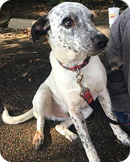 Labrador Retriever/Catahoula Leopard Dog Mix Dog for adoption in Spring, Texas - Bobby
