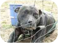 Pit Bull Terrier Mix Dog for adoption in Calumet City, Illinois - Your Eyes