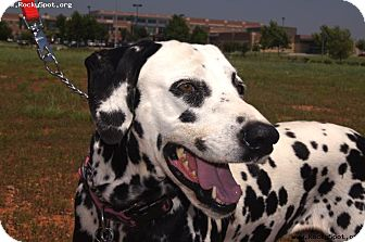 Dalmatian Dog for adoption in Newcastle, Oklahoma - Gisele