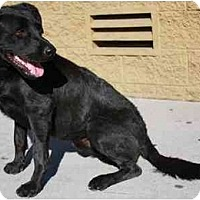 Adopt A Pet :: Shadow - Gilbert, AZ