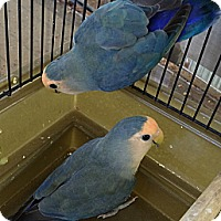 Adopt A Pet :: Lovebirds - Punta Gorda, FL