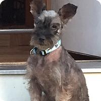 Adopt A Pet :: Rosey - Laurel, MD