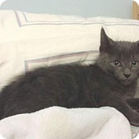 Domestic Shorthair Cat for adoption in Queens, New York - Slate