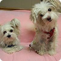 Adopt A Pet :: Puffen - Sioux Falls, SD