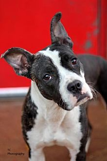 Terrier (Unknown Type, Medium) Mix Dog for adoption in St. Louis, Missouri - Jelly