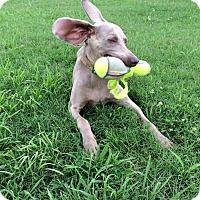 Adopt A Pet :: Daisy - Murfreesboro, TN