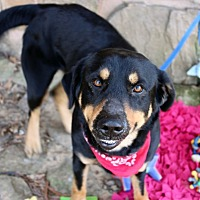 Hound (Unknown Type)/Rottweiler Mix Dog for adoption in Muldrow, Oklahoma - Ari