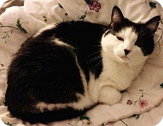 Domestic Shorthair Cat for adoption in Washburn, Wisconsin - MuuMuu
