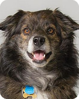 Australian Shepherd/Keeshond Mix Dog for adoption in Pt. Richmond, California - POOCH