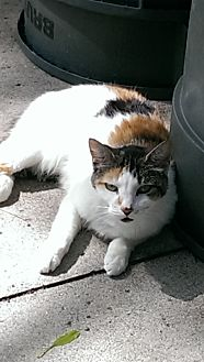 Calico Cat for adoption in Bonita Springs, Florida - Tessa