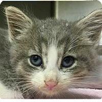 Adopt A Pet :: Toffee - Springdale, AR
