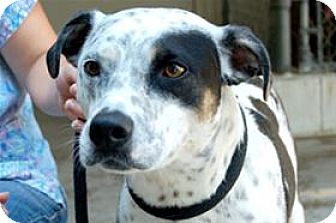 Australian Cattle Dog/Pit Bull Terrier Mix Puppy for adoption in Mountain Home, Arkansas - Anabell