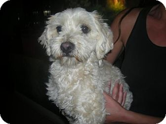 Maltese/Poodle (Miniature) Mix Dog for adoption in Moreno Valley, California - puppy mill dog 1