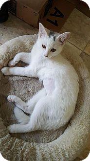 Domestic Shorthair Kitten for adoption in Flushing, Michigan - Lois