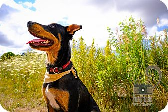 Shepherd (Unknown Type)/Doberman Pinscher Mix Dog for adoption in Barrie, Ontario - Marbles