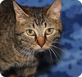 Domestic Shorthair Cat for adoption in Marietta, Ohio - Purrty Girl (Combo Tested)
