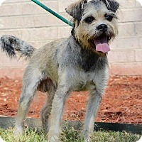 Standard Schnauzer Mix Dog for adoption in Chichester, New Hampshire - Dugan--in NH!