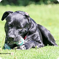 Labrador Retriever Mix Dog for adoption in Guelph, Ontario - Mickey